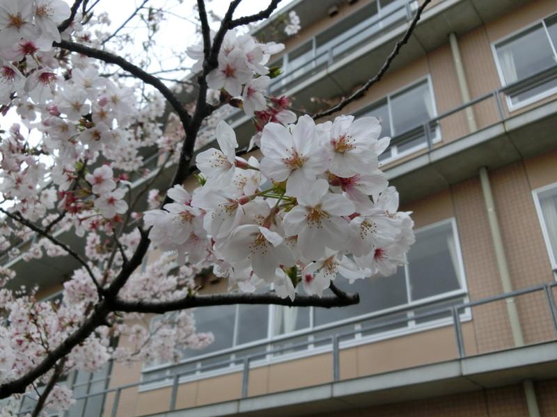 4月7日に中学入学式・高校入学式が行われます